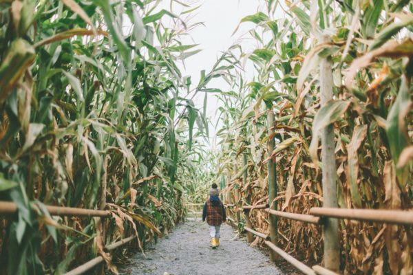 Boy Walking Through a Corn Maze