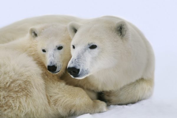 Polar bear with cub, Ursus maritimus, Hudson Bay, Canada